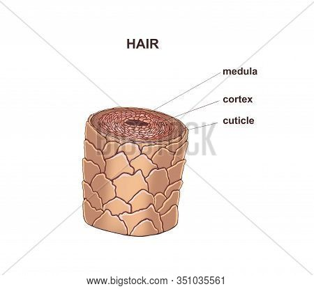 Illustration Of The Healthy Hair Structure. Anatomy