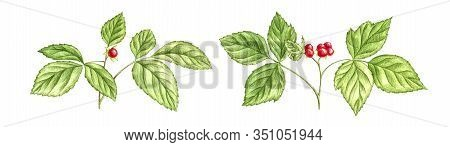 Stone Bramble Plants With Red Berries, Drawing By Color Pencils, Field Herbs Isolated At White Backg