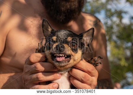 Man And Chihuahua. A Bearded Man Hugs A Small Dog Breed Chihuahua. Chihuahua Black And Brown And Whi