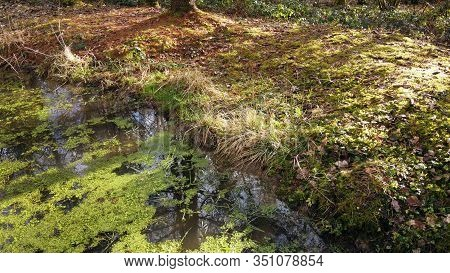 Green Forest Pond And Ground, Moss On Trees, And Duckweed