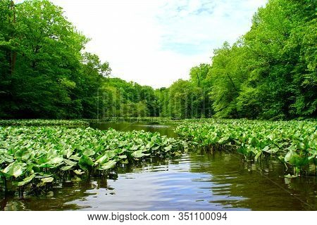 The View Of The Green Trees And Lily Pads Near Becks Pond, Newark, Delaware, U.s.a