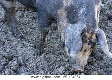 Gray Spotted Pig In Mud Hog Lot Farm