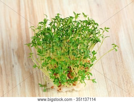 Garden Cress  Growing From Cotton Pad , Top View.  Lepidum Sativum, Also Called Mustard And Cress, G