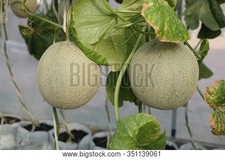 Young Sprout Of Japanese Melons Or Green Melons Or Cantaloupe Melons Plants Growing In Greenhouse Fa