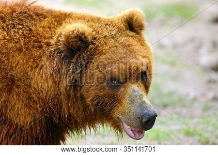 The Mainland Grizzly (ursus Arctos Horribilis) Portait Of The Big Female Bear. Grizzly Portrait.