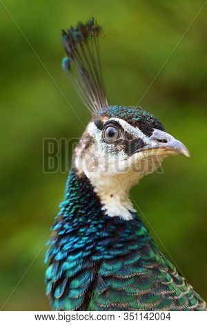 The Indian Peafowl Or Blue Peafowl (pavo Cristatus), Female Portait. Peafowl Portait With Green Back