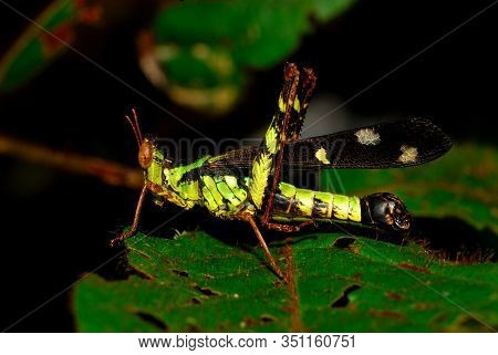Grasshoppers Perched On The Leaves. Grasshoppers Are Typically Ground-dwelling Insects With Powerful