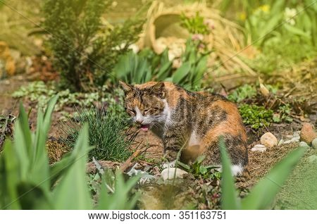 Cat Sits In The Garden With Tongue Sticking Out. Portrait Of A Beautiful Calico Licking Cat