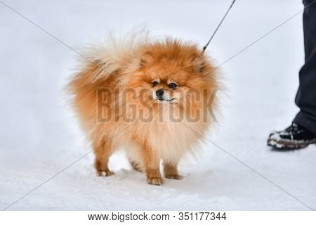 Pomeranian Spitz Dog, Pretty Little Dog, Winter Outdoor Background. Spitz Walking With Owner.