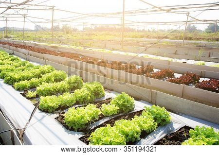 Fresh Sapling Of Green Oak Or Red Oak Romaine Lettuce Organic Farm In Plantation, Produce And Culti