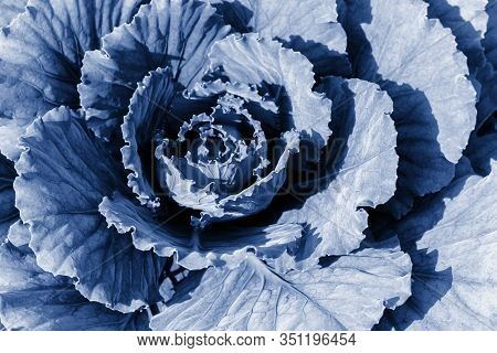 Cabbage Cabbage In Nature, Natural Cabbage Leaves Tinted In Classic Blue. Farm Vegetable In The Gard