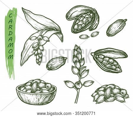 Cardamom Herb Sketch, Seasoning Spice And Botanical Plant Vector Illustration. Hand Drawn Cardamom,