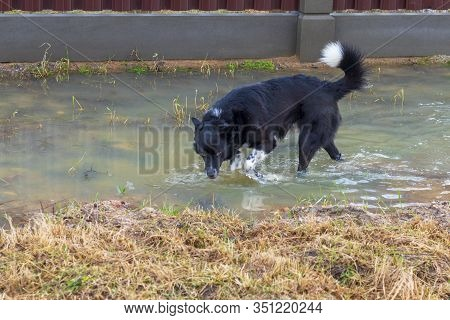 A Beautiful Dog Runs Through A Puddle Of Dirty Water And Drinks It. Close-up.
