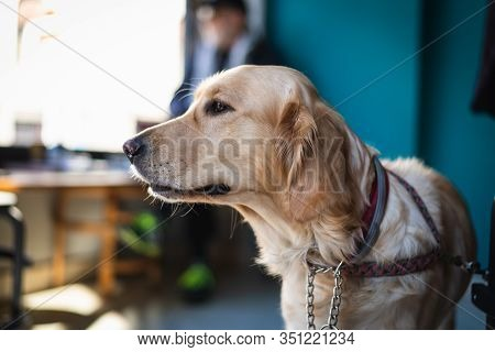 Golden Retriever Dog Portrait. Golden Retriever Dog In Bar. Close Up Of Retriever Dog. Golden Retrie