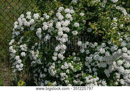 Branches Of Blooming Bush On Blurry Wire Mesh Background. Shrub Of White Flowers Named Spiraea Vanho