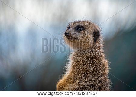 The Meerkat (suricata Suricatta) Or Suricate Is A Small Carnivoran In The Mongoose Family