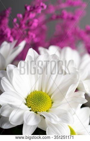 Greeting Card From Tender Spring White Chrysanthemums Close-up.