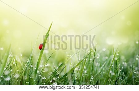 Green Grass With Dew Droplets On Meadow Field In Morning Light . Fresh Green Background With Copy Sp