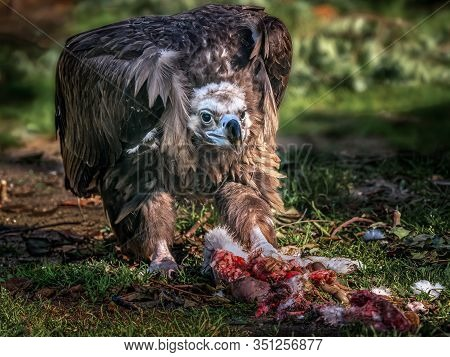 Black Vulture Feeding