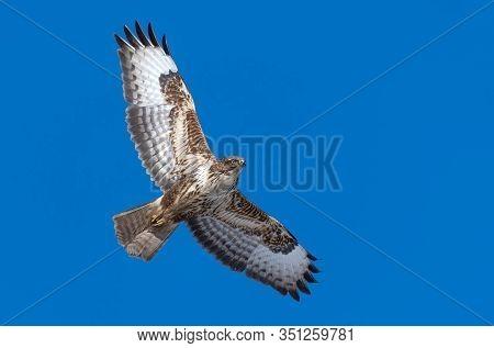 Common Buzzard (buteo Buteo) Bird Of Prey On Background Bright Blue Skies