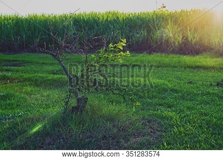 Dying Lime Fruit Tree On A Sugar Cane Farm In Late Afternoon Light