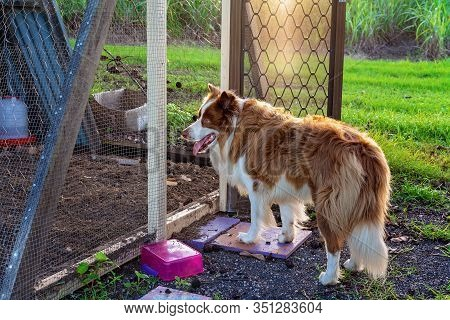 A Border Collie Dog Stands At The Open Entrance To A Chicken Run In Late Afternoon Light