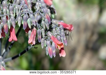 Kalanchoe Daigremontiana Or Mother Of Thousands Succulent Flowers, Closeup, Shallow Depth Of Field