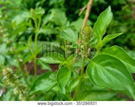 Fresh Lemon Basil (kemangi, Ocimum Basilicum, Ocimum Americanum, O. Basilicum Var. Anisatum Benth) I