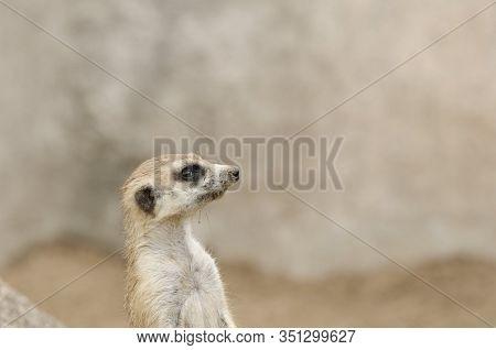 Meerkat, Suricate, Suricata Suricatta, Portrait, In Sentry Position; Specimen In Captivity