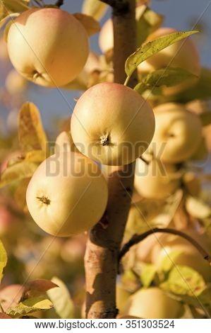 Fruit Gardening. Fruit Trees Grow In Apple Garden. Fruit Orchard Trees. Apple Fruit Harvesting. Appl