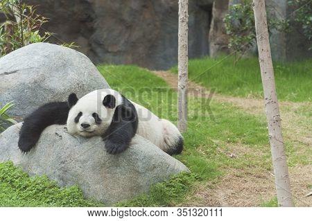 Adorable Giant Panda Bear Sleeping In Zoo