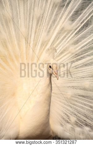 White Peacock Pavo Albus Bird With Its Feathers Spread
