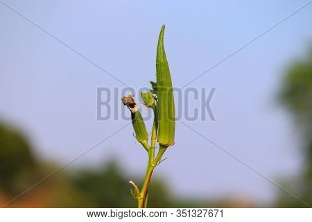 Lady Finger (okra) On Plant In Dry Summer Season , Close Up Vegetable Background