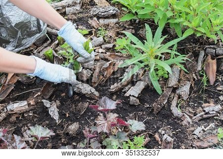 Landscape Designer Caucasian Woman Cutting Hyacinth Plant After Bloom On Garden Plot, Close Up Top V