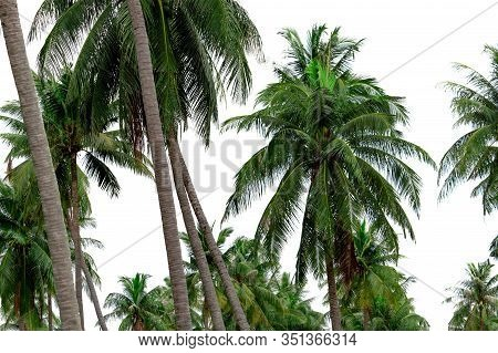 Coconut Palm Tree Garden In Resort. Palm Plantation. Coconut Farm In Thailand. Trunk And Green Leave