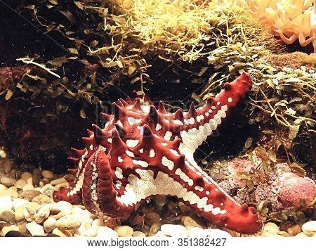 Colorful Seastar With Reef  In Marine Aquarium