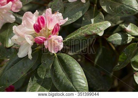 Big Azalea Or Rhododendron In Garden. Season Of Flowering Azaleas (rhododendron) At Botanical Garden