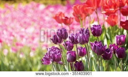 Beautiful Tulips Flower In Tulip Field At Winter Or Spring Day