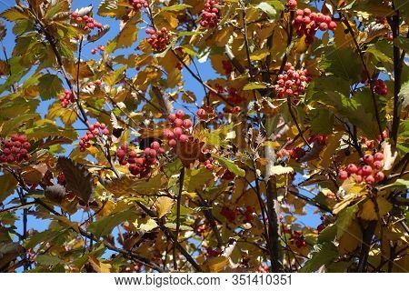Mature Red Berries In The Leafage Of Sorbus Aria Against Blue Sky In October