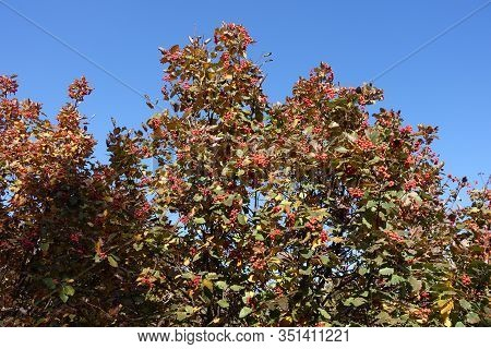 Multicolored Leafage And Red Berries Of Sorbus Aria  Against Blue Sky In Mid October