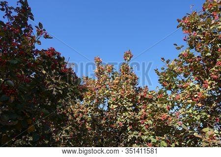 Orangey Red Berries In The Leafage Of Sorbus Aria Against Blue Sky