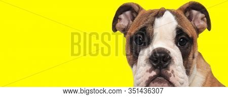 curious little english bulldog puppy looks at the camera on yellow background