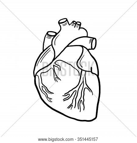 Anatomical Heart. Vector Linear Illustration Of A Heart. Anatomical Illustration. Freehand Drawing I