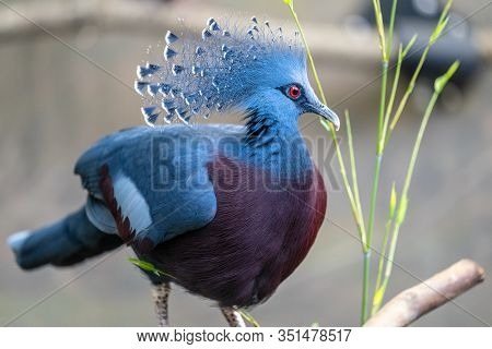 The Victoria Crowned Pigeon , Goura Victoria Is A Large, Bluish-grey Pigeon With Elegant Blue Lace-l