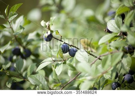 Blackthorn Sloe Plant With Blue Berries (prunus Spinosa)