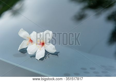 Two Beautiful Tung Flowers Fall On The Windshield Of The Car,  Tung Flower Blooms In Spring