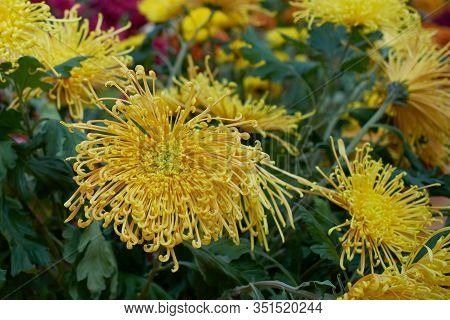 Chrysanthemum Grandiflorum. Yellow Chrysanthemum In Autumn Botanical Garden. Decorative Composition