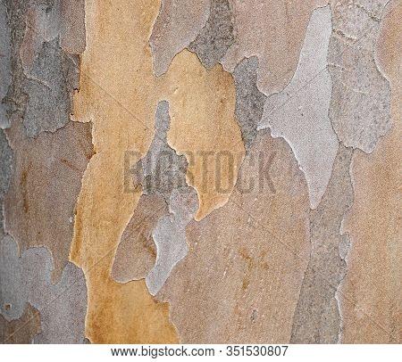 Bark Texture And Pattern. Extraordinary Background. Japanese Stewartia Distinctive Bark Smooth Textu