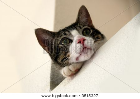 grey and white tabby cat on a white background poster