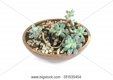 Succulent Sedum Clavatum Isolated On White Background. Houseplant Succulent Growing In Decorative Pl